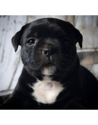 Filhotes - Staffordshire Bull Terrier - Hard Face Kennel
